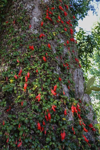 Sarmienta repens,  Gesneriaceae,