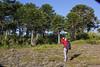 Photographing Araucaria araucana