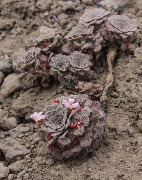 Viola philippii