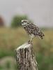 Athene cunicularia