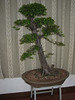bonsai tree, office ICVC, Huainan