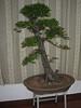 bonsai tree, office ICVC, Huainan