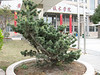 Pinus spec. in the frontgarden of ICVC building
