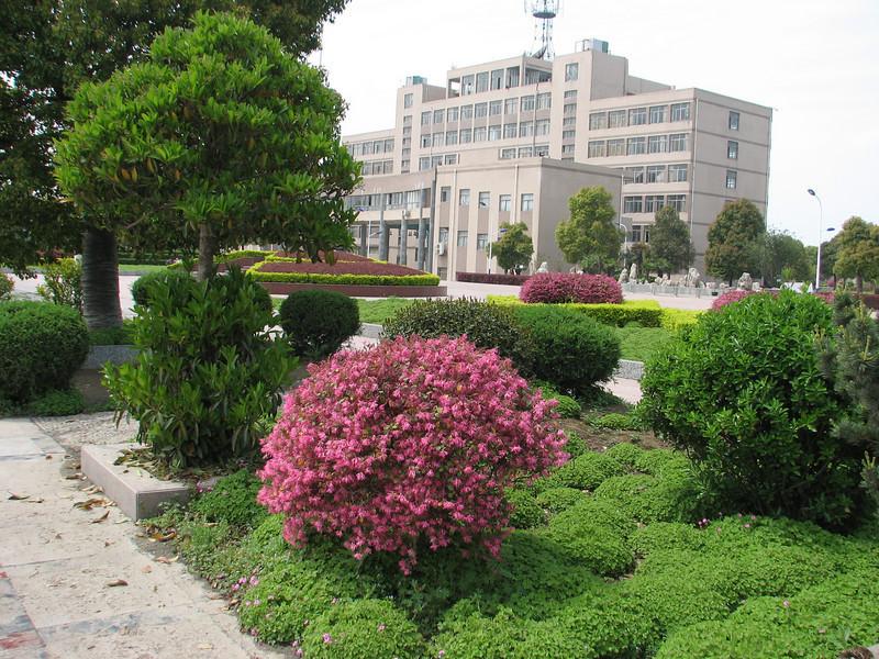 Chinese shrub, Loropetalum chinense var. rubrum