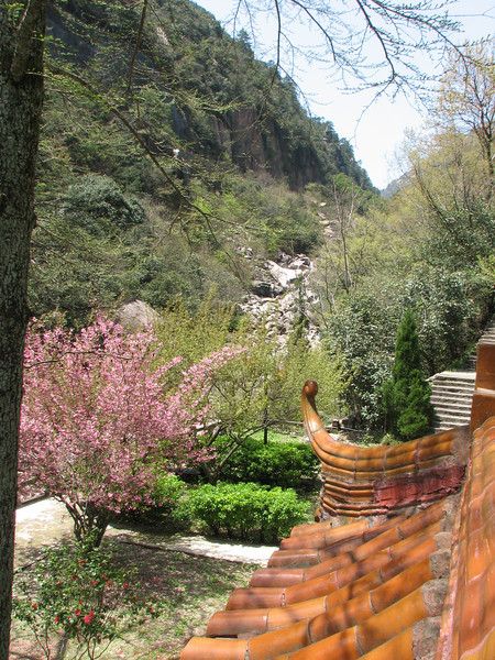 Shuangxi Hotel with a flowering Cerasus cerasoides in the garden, Huang Shan