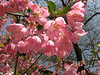 Cerasus cerasoides (wild Himalayan cherry)
