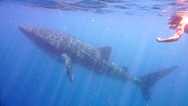 Whale Shark rising up to the surface