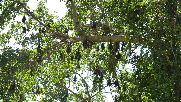 Fruit Bats on the central Baobab on Chole Mjini