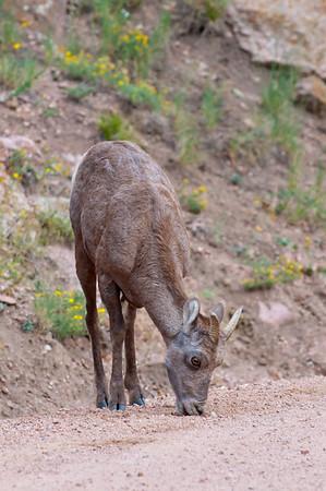 Colorado Mountain Goat