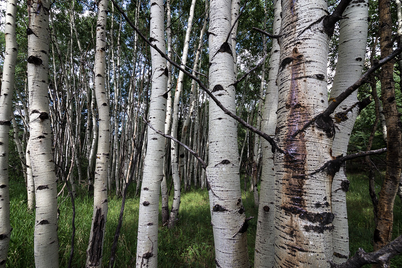 Aspen Grove, Pike National Forest, Colorado