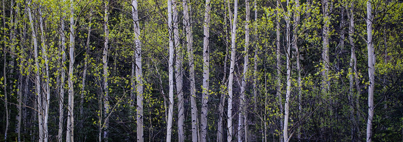 Aspen Grove with Spring Leaves, Mt. Evans Wilderness