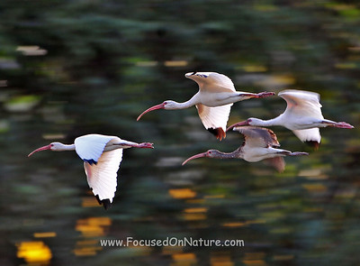 Flying White Ibis