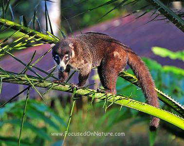 White-nosed Coati in Palm
