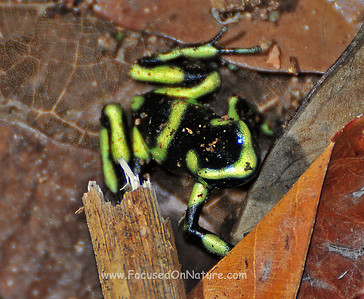 Juvenile Green and Black Dart Frog