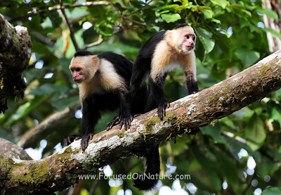 White-faced Capuchin Pair