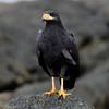 Mangrove-Blackhawk_Osa-Peninsula_CostaRica-1198