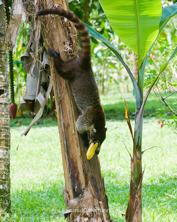White-nosed Coati with Snack