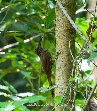 Northern Bared-Woodcreeper