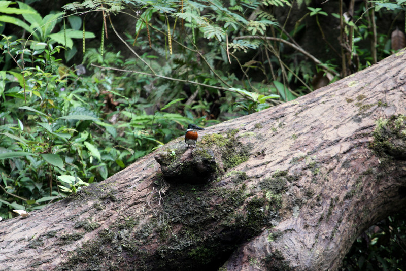 Green-Kingfisher_Rio-Claro_Osa-Peninsula_CostaRica-1148