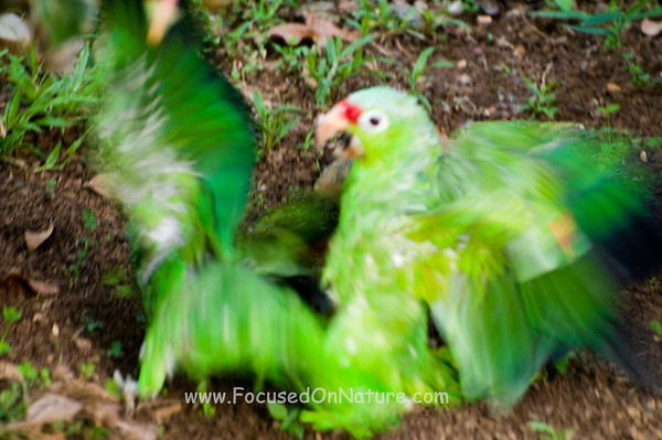 Red-lored Parrot Fight