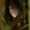 White-whiskered-Puffbird_Corcovado_CostaRica-1246