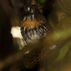 White-whiskered-Puffbird_Corcovado_CostaRica-1243
