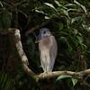 Boat-billed-Heron_Rio-Claro_Osa-Peninsula_CostaRica-1133