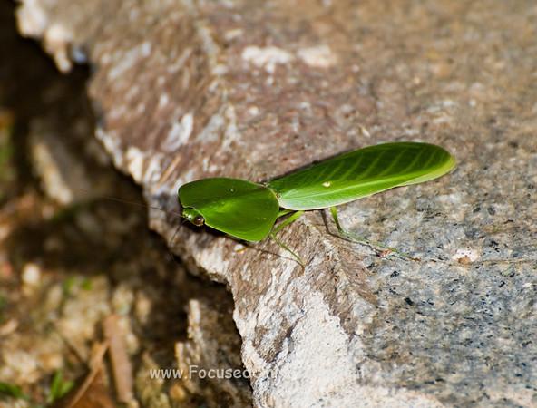 Leaf-Mimicing Praying Mantis