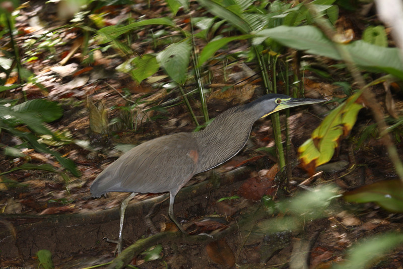 Bare-throated-Tiger-Heron_Corcovado_CostaRica-1241
