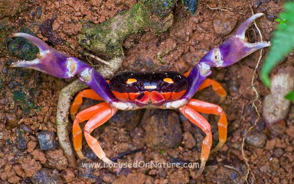 Halloween Crab in Defensive Posture