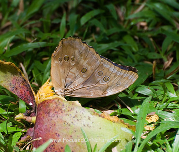 Blue Morpho Eating Mango