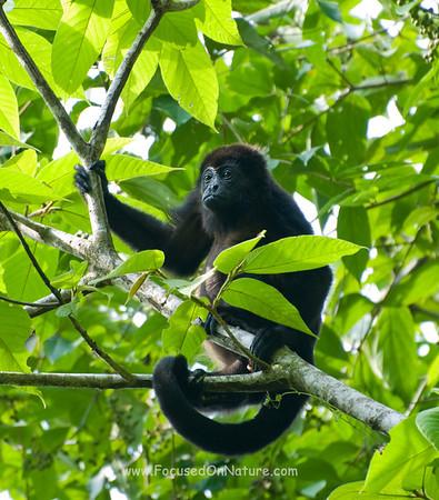 Mantled Howler Monkey