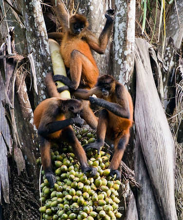 Spider Monkey Trio Eating Palm Nuts