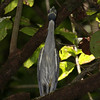 Yellow-crowned-Night-Heron_Rio-Claro_Osa-Peninsula_CostaRica-1137