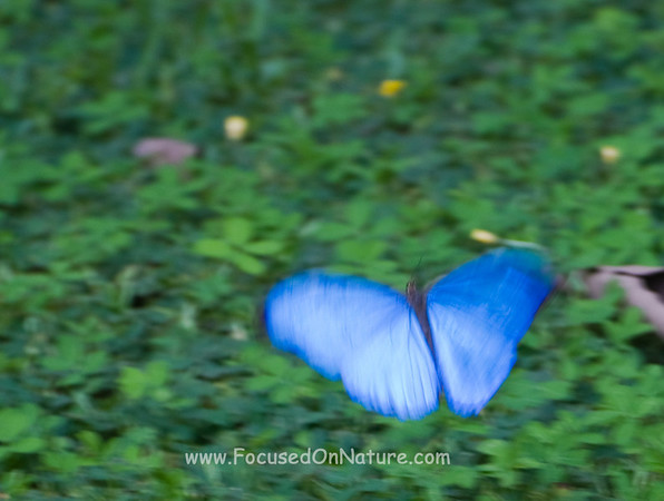 Blue Morpho in Flight
