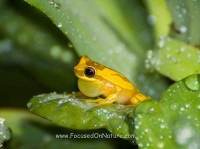 Hourglass Tree Frog Calling