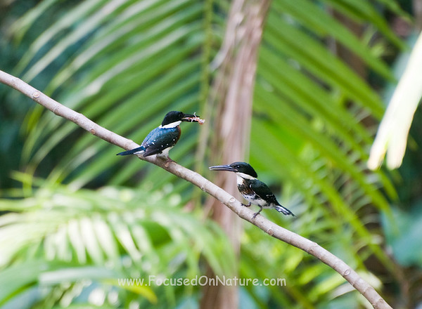 Green Kingfisher Presenting Courtship Gift