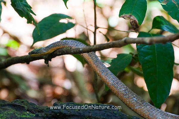 Neotropical Bird Eating Snake