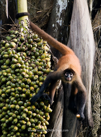 Spider Monkey Eating Palm Nuts
