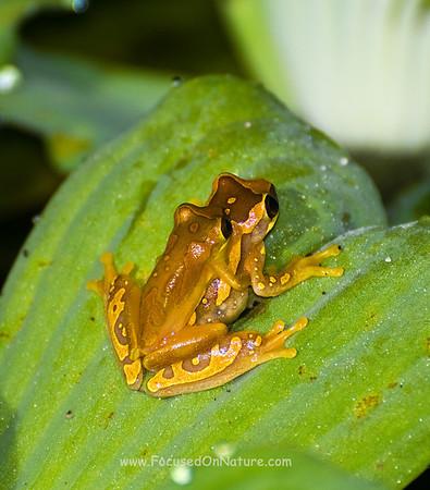 Hourglass Tree Frogs
