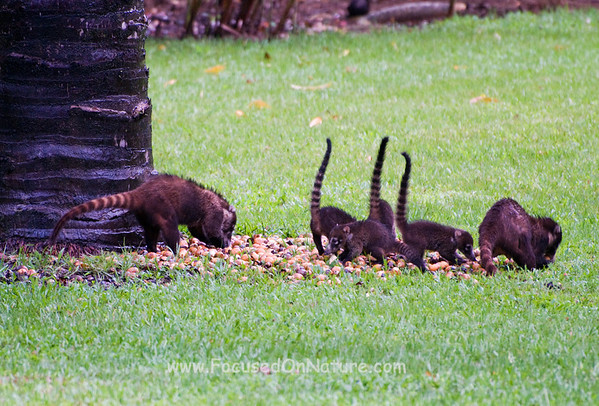 White-nosed Coati Family