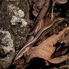 Lizard_Osa-Peninsula_CostaRica-1170