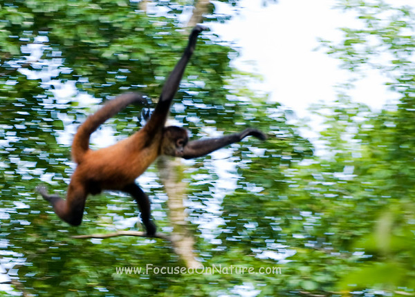 Spider Monkey Leaping