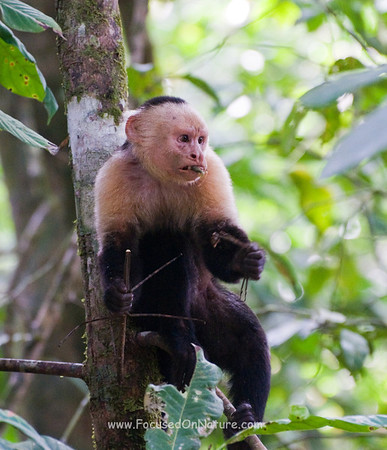White Faced Capuchin with Walking Stick Snack