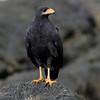 Mangrove-Blackhawk_Osa-Peninsula_CostaRica-1195