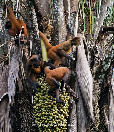 Spider Monkey Foursome Eating Palm Nuts