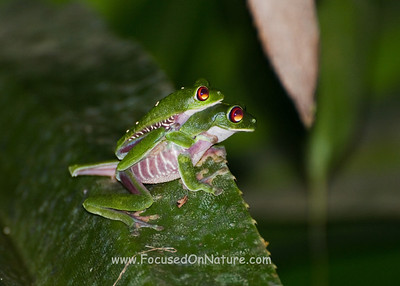 "Red-eyed Tree Frogs ""Bonding"""