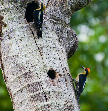 Golden-naped Woodpecker Pair