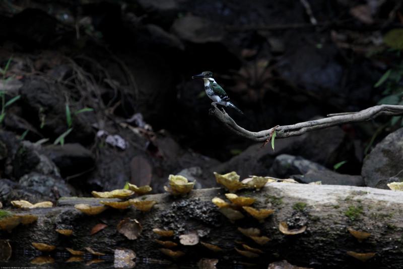 Green-Kingfisher_Rio-Claro_Osa-Peninsula_CostaRica-1155