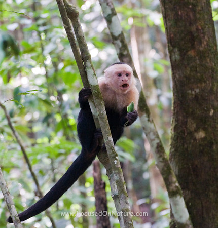 White Faced Capuchin with Grasshopper Snack